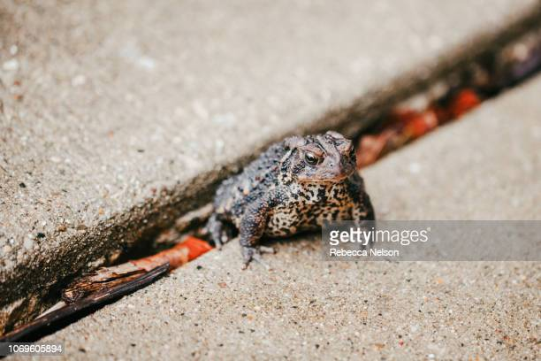 Toad sitting on sidewalk pavement