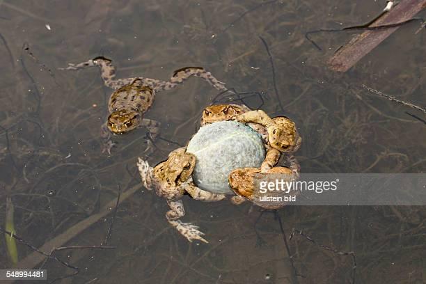 Toads cling to Tennis Ball in Mating Season Bufo bufo Munich Bavaria Germany