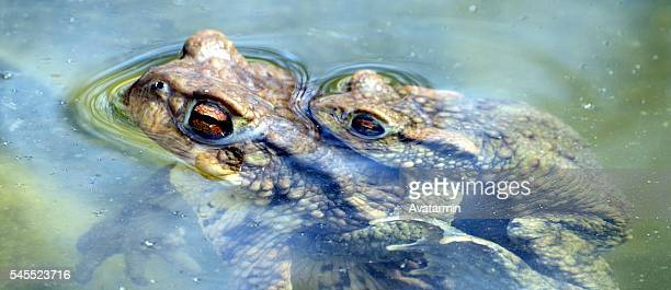 toads having sex in pond