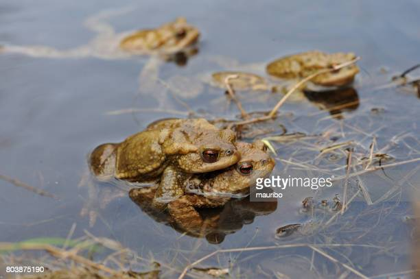 Kröten in der Paarung (Bufo Bufo)