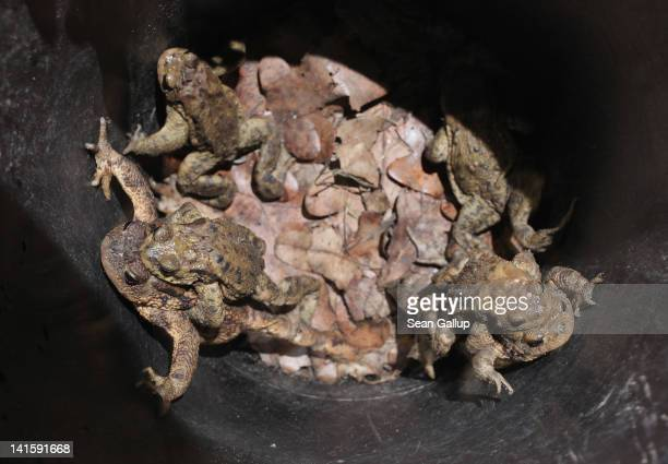 Toads including males clinging to the backs of their female partners lie trapped in a buried bucket left by volunteers along a road near Berlin on...