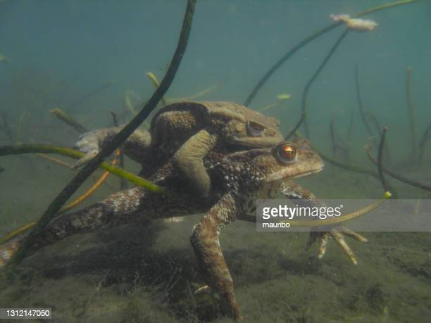 toads mating underwater - underwater film camera stock pictures, royalty-free photos & images