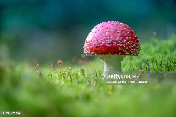 toadstool in close up - fungus stock pictures, royalty-free photos & images