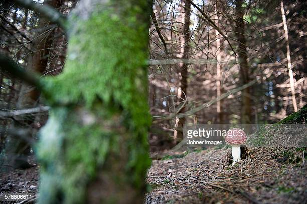 toadstool in forest - poisonous mushroom stock photos and pictures