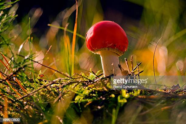 toadstool in the forest - bernd schunack photos et images de collection