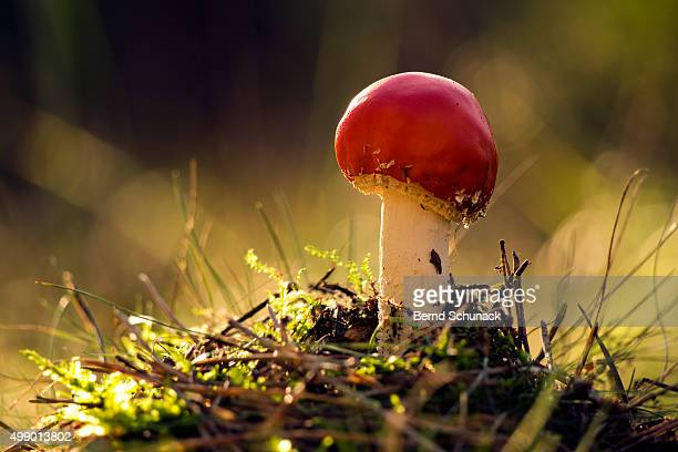 toadstool in the forest - bernd schunack stock photos and pictures