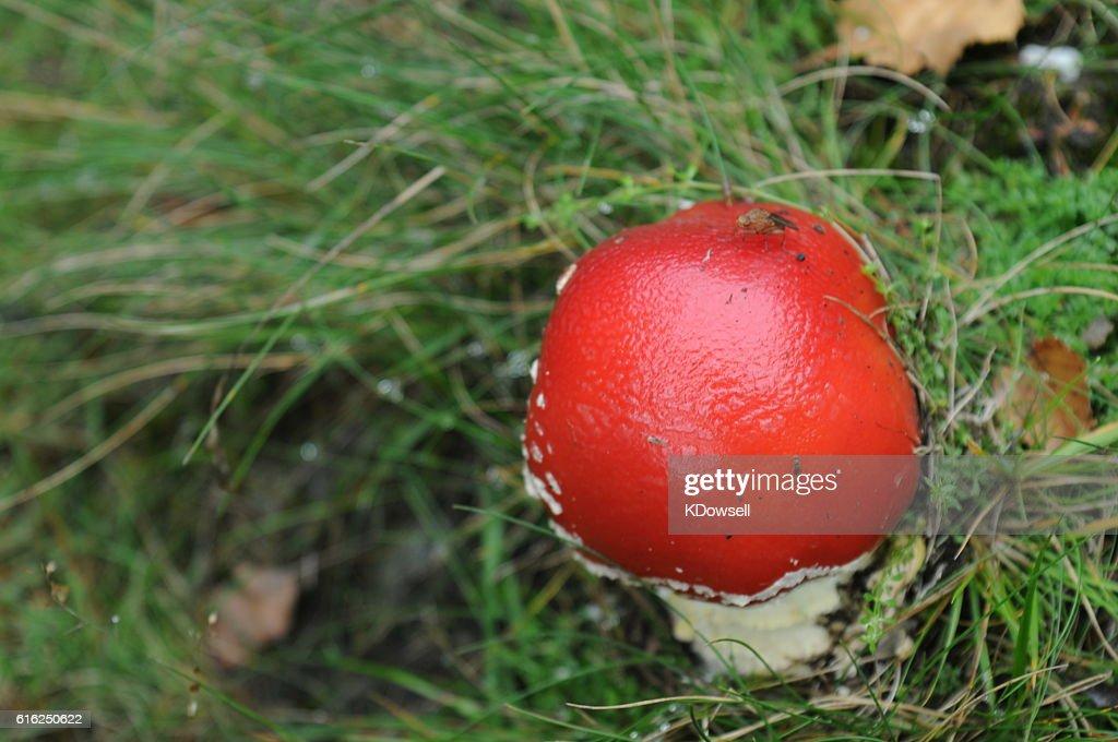 Cogumelo venenoso : Foto de stock