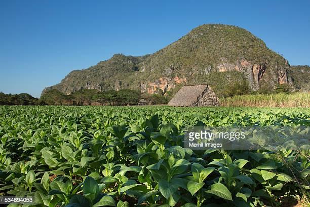 Tobacco farm in valley of Vinales Cuba