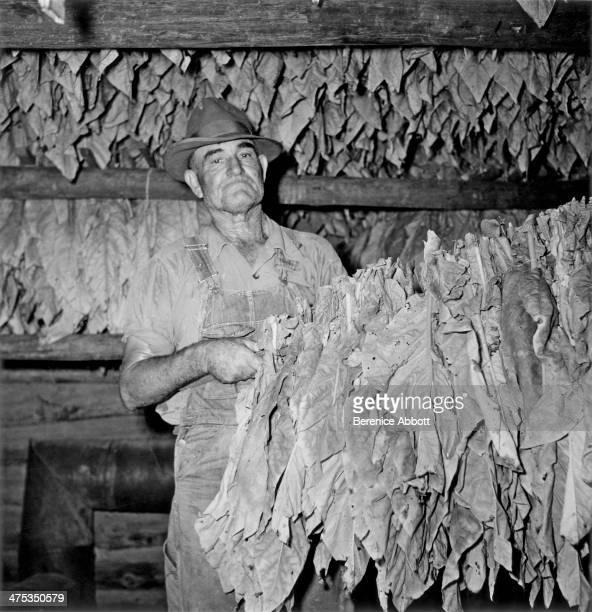 Tobacco farmer drying leaves Waycross Georgia United States 1954