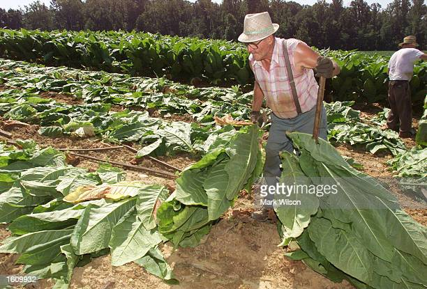 Tobacco farmer Kenneth Brady collects tobacco leaves August 22 2001 in Dunkirk MD The Brady family have been growing tobacco for 50 years and refused...