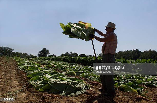 Tobacco farmer Kenneth Brady places tobacco leaves on a stick August 22 2001 in Dunkirk MD The Brady family have been growing tobacco for 50 years...