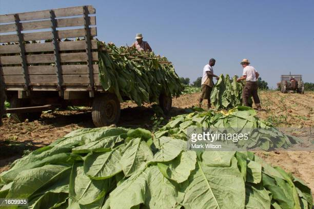 Tobacco farmer Lewis Brady and a farmhand collect tobacco leaves to be loaded on a trailer August 22 2001 in Dunkirk MD The Brady family have been...