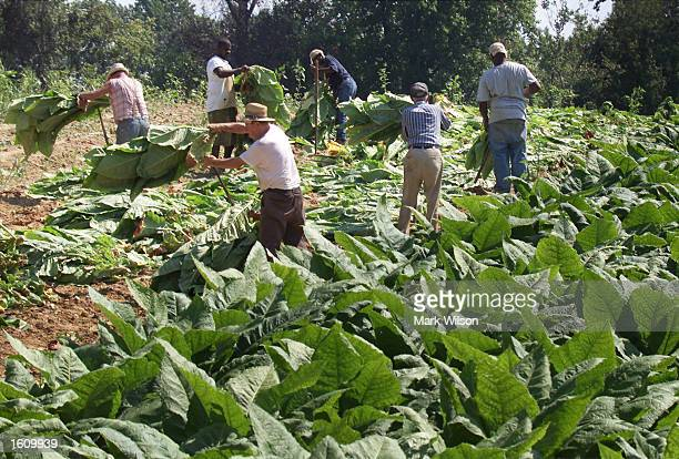 Tobacco farmer Lewis Brady and other farmhands prepare tobacco leaves to be hung and dried August 22 2001 in Dunkirk MD The Brady family have been...