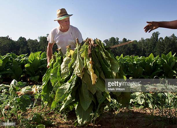 Tobacco farmer Lewis Brady hands off a bundle of tobacco leaves August 22 2001 in Dunkirk MD The Brady family have been growing tobacco for 50 years...