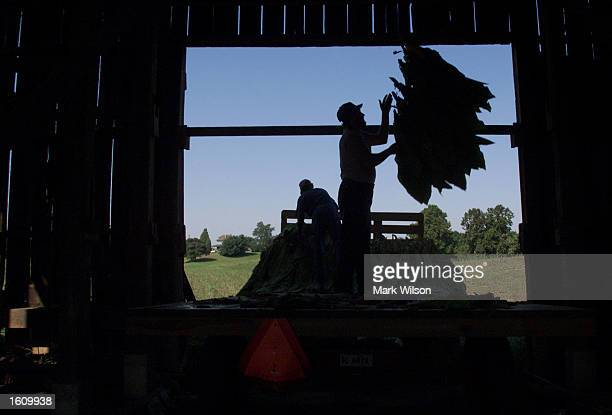 Tobacco farmer Lewis Brady hangs bundles of tobacco leaves to dry out August 22 2001 in Dunkirk MD The Brady family have been growing tobacco for 50...