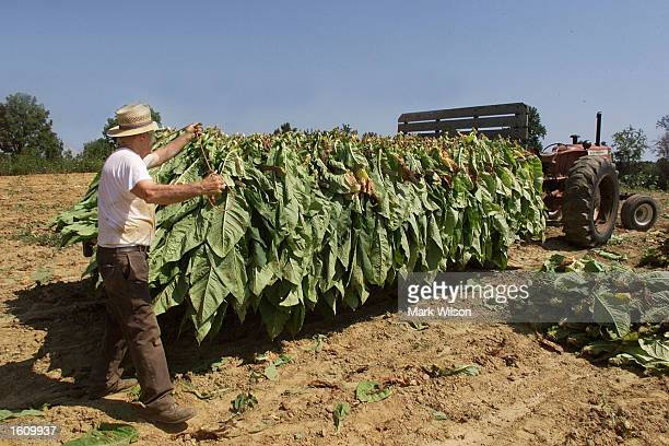 Tobacco farmer Lewis Brady places bundles of tobacco leaves on a trailer August 22 2001 in Dunkirk MD The Brady family have been growing tobacco for...