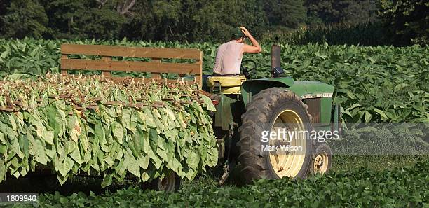 Tobacco farmer SL Brady drives a tractor pulling a trailer full of bundled tobacco leaves August 22 2001 in Dunkirk MD The Brady family have been...