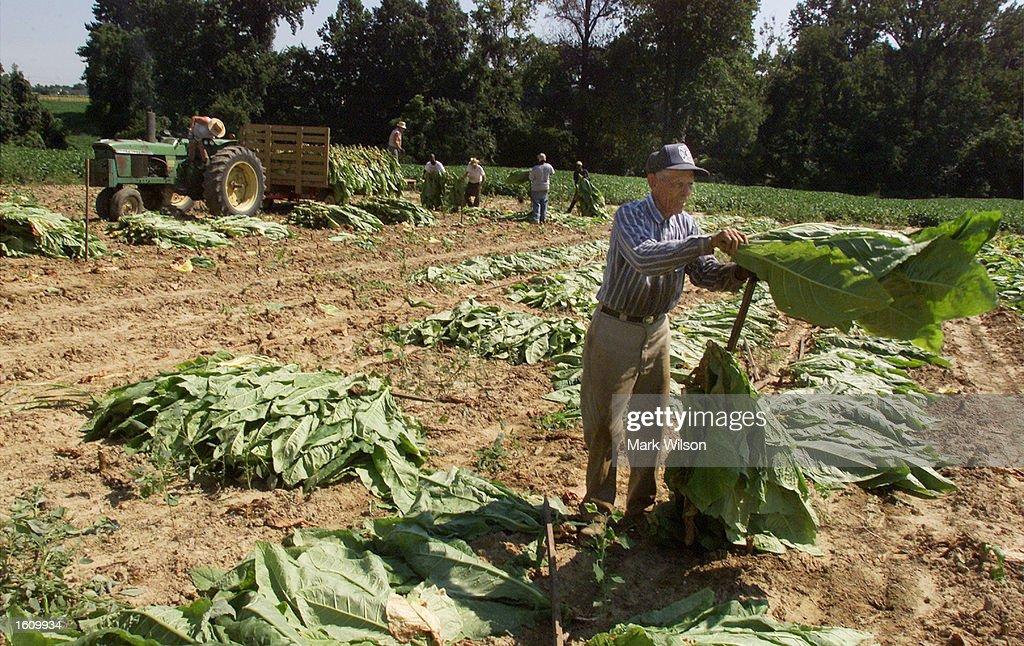 Maryland Tobacco Farmer Harvest : News Photo