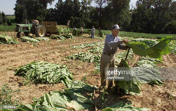 Tobacco farmer Wilfred Jones places tobacco leaves on a stick August 22 2001 in Dunkirk MD