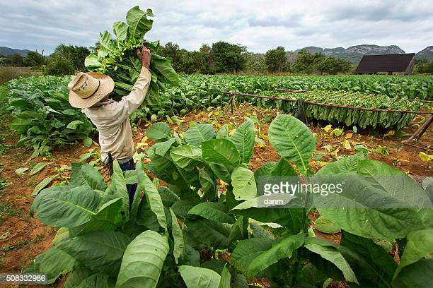 Tobacco farmers collect tobacco leaves in Vinales, Cuba