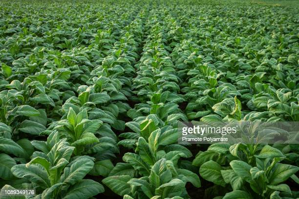tobacco field, tobacco big leaf crops growing in tobacco plantation field. - organic farm stock pictures, royalty-free photos & images