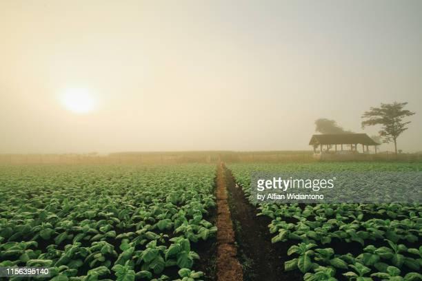 tobacco fields - tabakwaren stock-fotos und bilder
