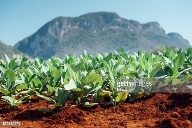 tobacco fields, valle de vinales, cuba - pinar del rio stock photos and pictures