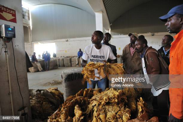 Tobacco growers prepare their tobacco for auction at the Boka Auction Floor Harare Zimbabwe April 16 2012 More than a decade after it began seizing...