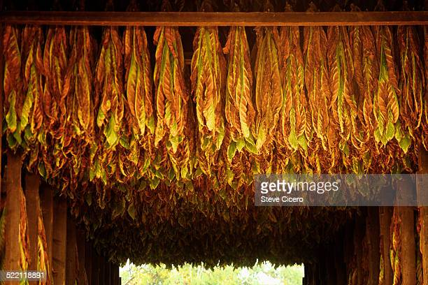 Tobacco harvest hanging in barn