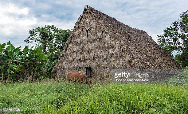 Tobacco houses are picturesque construcitons of wood and palm tree leaves They are used to store the just harvested leaves and also to curate them...
