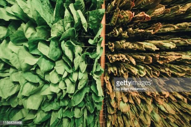 tobacco leaf hung to dried - tabakwaren stock-fotos und bilder