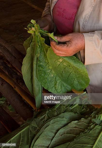 Tobacco leaf sorting in Vinales Cuba