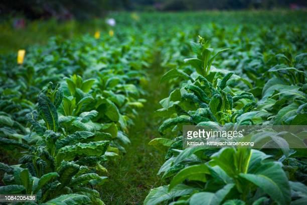 tobacco leaves backlit by sunset in tobacco field - tabakwaren stock-fotos und bilder