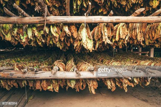 Tobacco leaves drying in Cuba, Valle De Vinales