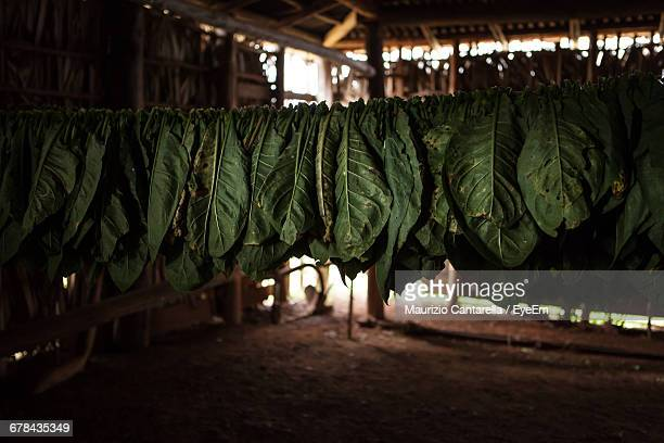 tobacco leaves drying in hut - drying stock pictures, royalty-free photos & images