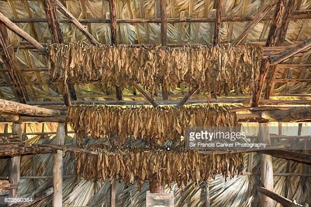 tobacco leaves drying in organic farm in viñales, cuba - tabakwaren stock-fotos und bilder