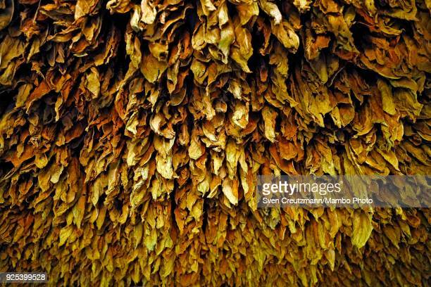 Tobacco leaves hang for drying at the Isidro Garcia cooperative in the Western province of Pinar del Rio in San Juan y Martinez on February 27 2018...