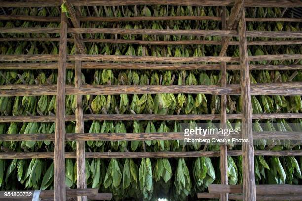 Tobacco leaves hang from drying racks on a plantation