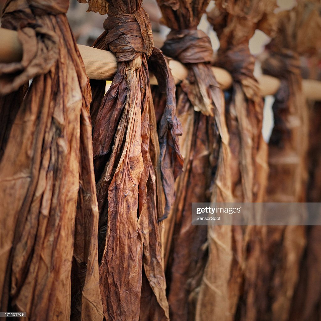 Tobacco leaves : Stock Photo
