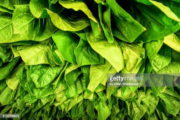 tobacco leaves - tabakwaren stock-fotos und bilder