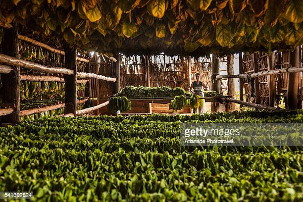Tobacco plantation in the countryside, drying out tobacco leaves for cigars