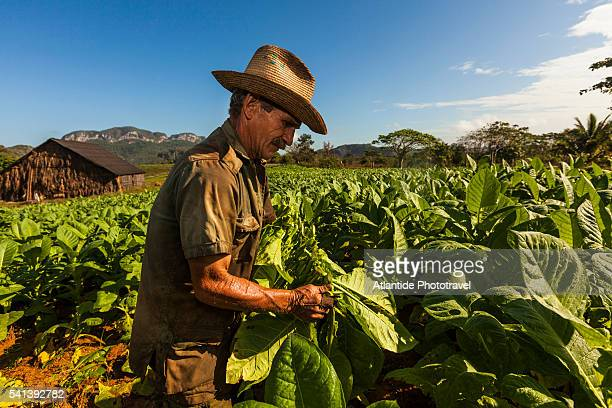 Tobacco plantation in the countryside