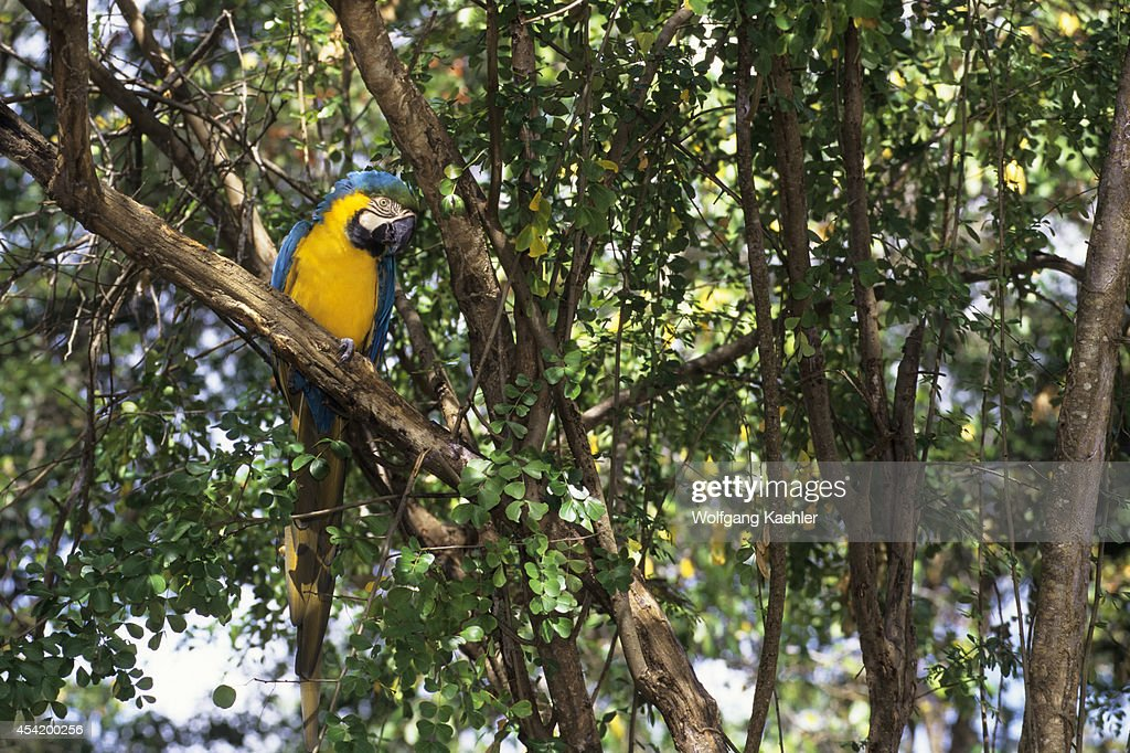 Tobago, Blue And Yellow Macaw.