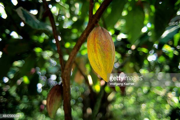 Tobago Cocoa Plantation Cocoa Seed Pod