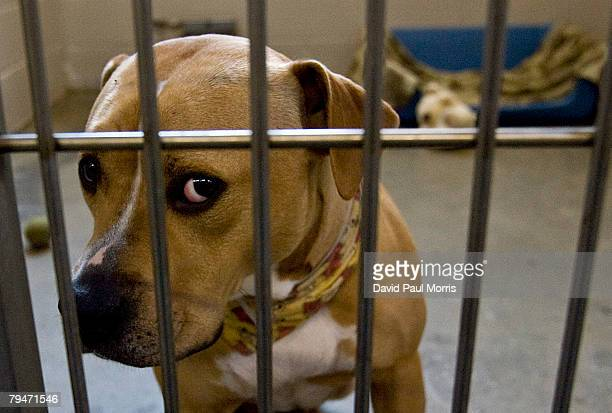 Tobi an American Staffordshire Terrier looks on at the Sacramento SPCA February 1 2008 in Sacramento California Tobi is one of many dogs and cats who...