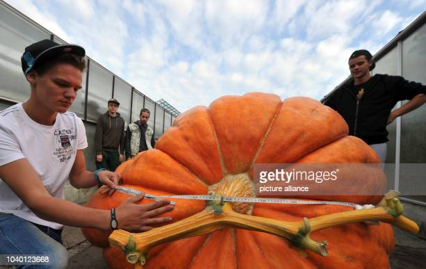 Tobias Thonke measures a giant pumpkin in Augusburg Germany 21 September 2013 The trainees of the vocational training center hope to win the pumpkin...