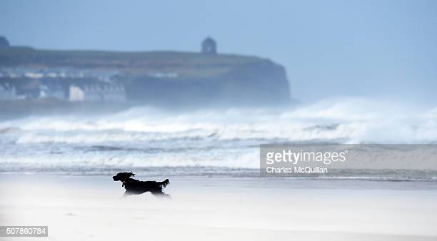 Toby a 3 year old working cocker spaniel enjoys the blustery conditions as Storm Henry arrives at Portstewart strand on February 1 2016 in Portrush...