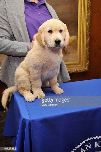 Toby a Golden Retriever puppy attends as American Kennel Club announces Most Popular Dogs in the US at American Kennel Club Offices on February 28...