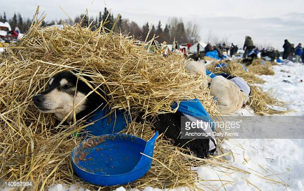Toby a leader for Nicolas Petit rests in straw at Nikolai Alaska on Tuesday March 6 2012