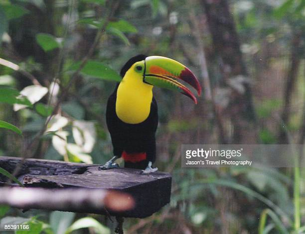 Toco toucan close-up